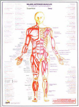 Anatomy Muscle Charts - set of 2 - Idass
