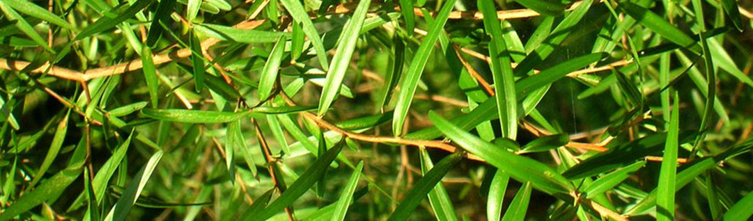 Melaleuca Alternifolia (Tea Tree) Leaf Oil