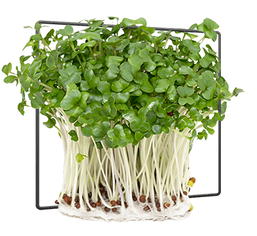 bushel broccoli sprouts