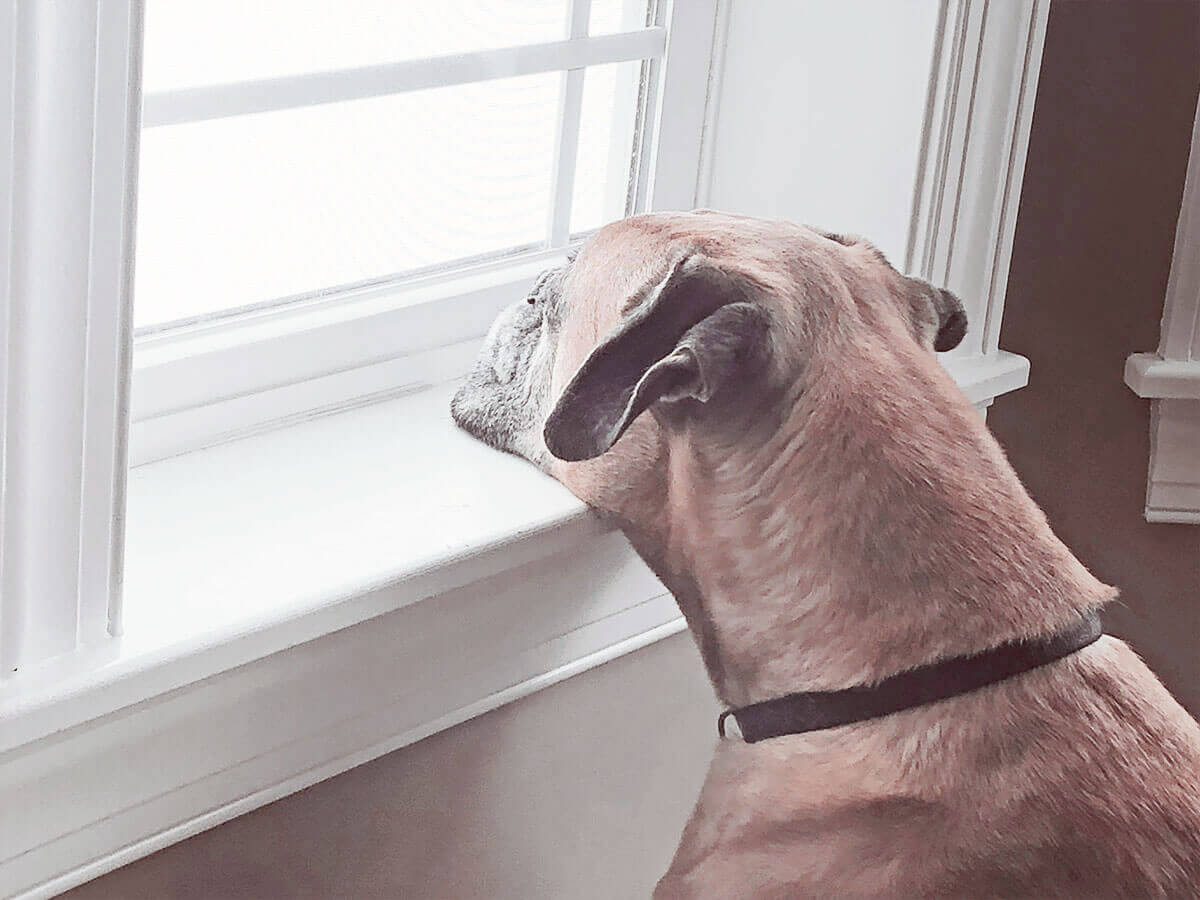 Even Rocco the boxer is feeling the winter blues