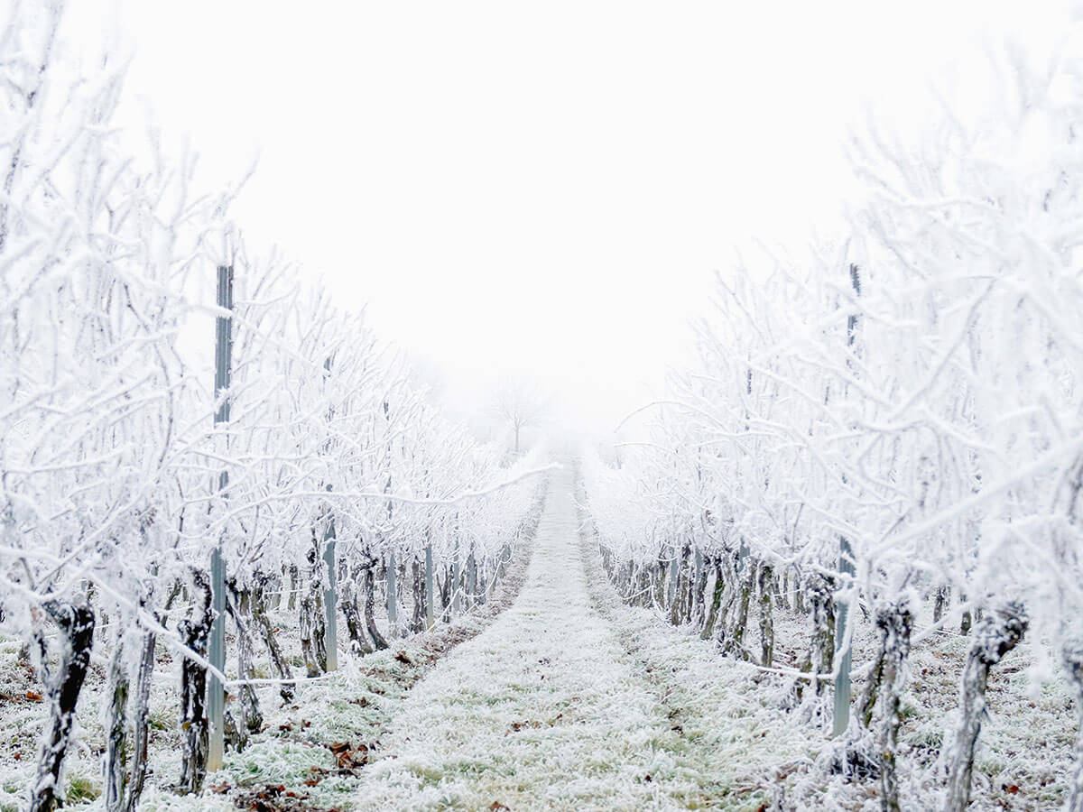 Beneath the snow, vines are preparing for a new growing season. In the same way, God uses the cold, bleak seasons of our lives to prepare us for bigger things in the future.