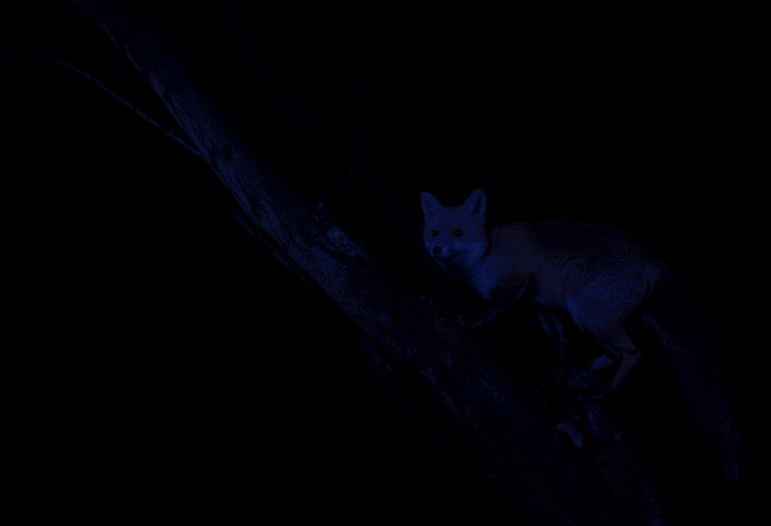 Before Night Fox