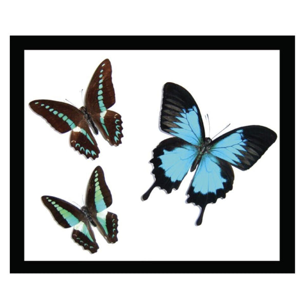 Butterfly Australian tropical trio (with Ulysses) framed