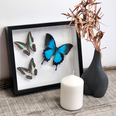Butterfly Australian tropical set of 3 butterflies (with Ulysses) framed