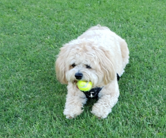 The Active Dawg story - how Sophie medical needs drove Active Dawg