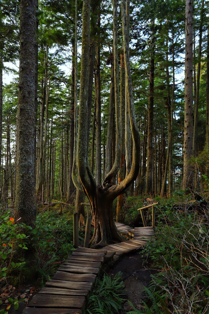 Cape Flattery Trees