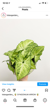 Load image into Gallery viewer, Syngonium Arrowhead (Plant Only/No Pot)