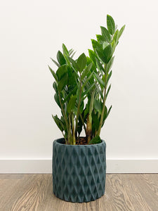 Zamioculcas zamiifolia (ZZ Plant) in Dark Blue Diamond Planter