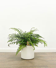 Load image into Gallery viewer, Asplenium Parvati (Mother Fern)