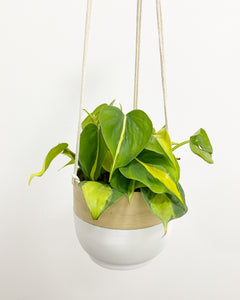 Philodendron Scandens Brasil (Sweetheart Plant)