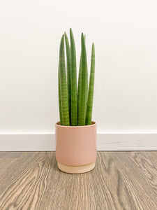 Cylindrical Sansevieria in Pale Pink Pot
