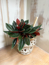 Load image into Gallery viewer, Peperomia Punto Grigio in Brown Glaze Pot