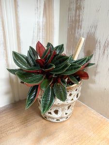 Peperomia Punto Grigio in Brown Glaze Pot