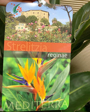 Load image into Gallery viewer, Strelitzia Reginae (Bird of Paradise Plant) in Large White Pot