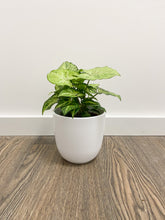 Load image into Gallery viewer, Syngonium Arrowhead in White Pot
