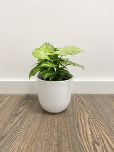 Syngonium Arrowhead in White Pot