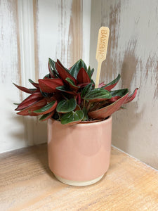 Peperomia Punto Grigio in Pale Pink Gloss Pot