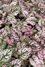Load image into Gallery viewer, Pink Polka Dot Plant (Hypoestes Phyllostachya)