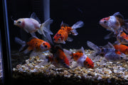 Newlyn Pets, Oranda, Red Cap, Calico Oranda, Wen, hood. Head growth giving a raspberry-like head, Oranda full Caudal fin, Anal fins, Redcap Oranda,red head growth