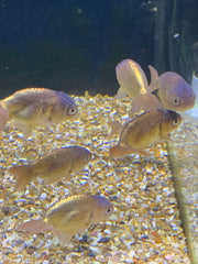 Chocolate Ranchu 6-7cm Fancy Goldfish