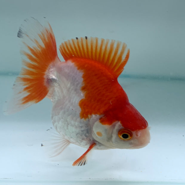 Red/White Short Tail Ryukin 10cm