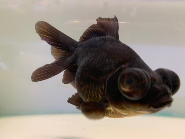 Black Moor Fancy Goldfish 12-13cm (Fish in Picture)