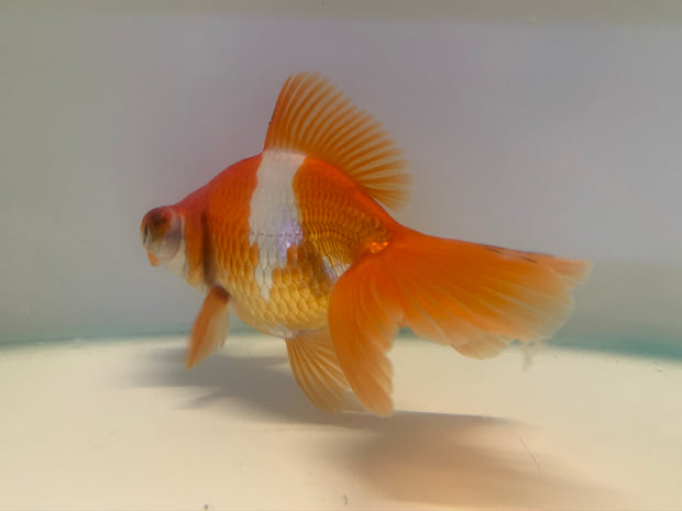 Red White Telescope Moor 11cm (Fish in Picture)