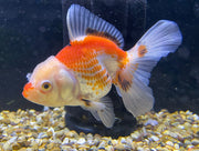 High Quality Red/White Short tailed Ryukin 11cm Fancy Goldfish