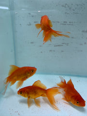 Newlyn Pets, Fancy Goldfish, Fantail Goldfish, Fantail, Ryukin