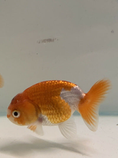 Newlyn pets, Fancy Goldfish, King of Goldfish. Dorsal fin, Caudal fin, head growth, Oranda. Ranchu for aquariums, side-view' Ranchu.