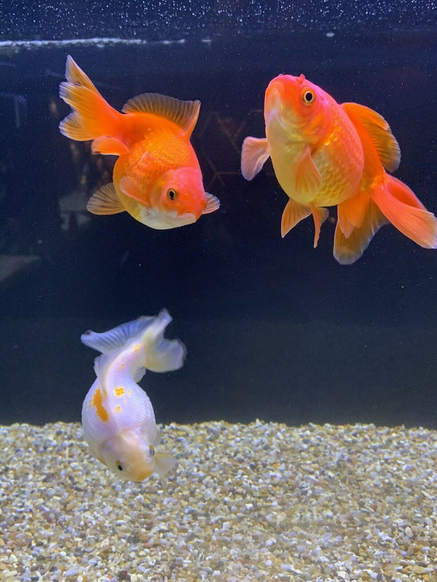 Newlyn Pets, Fancy Goldfish, Pearlscale, Golfball,Red Pearlscale, Yellow Pearlscale, Yellow / Black Pearlscale, Calico, High Crown, Pearl