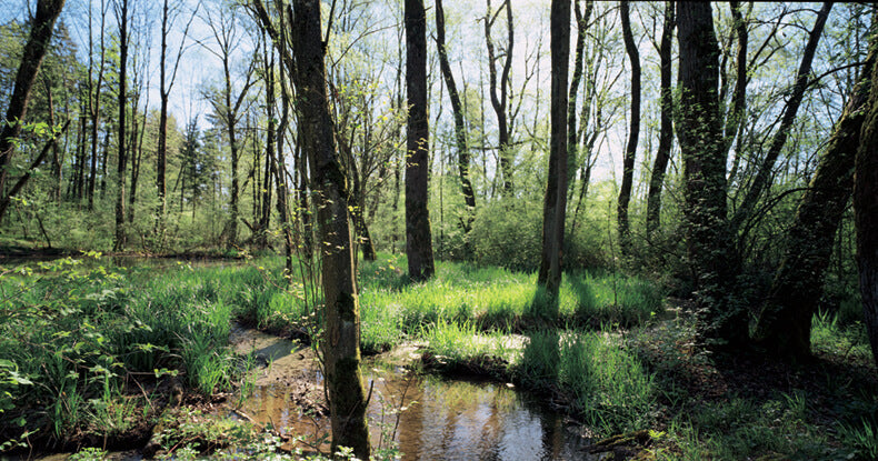 A hardwood forest in the river floodplains area