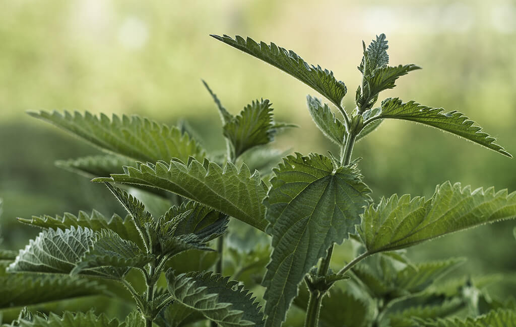 Close up of a stinging nettle plant
