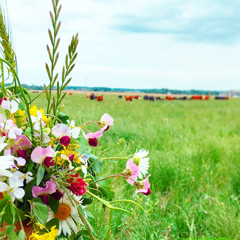 flowers on a pasture with cattle grazing in the background