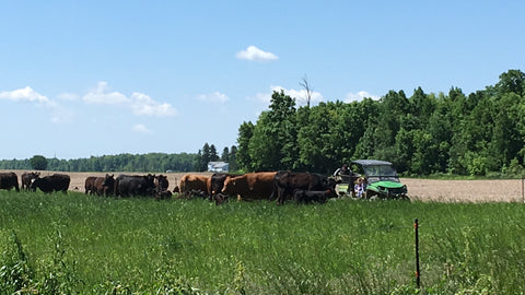 Grass Fed and grass finished beef grazing on cover crop pasture