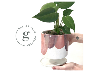 potted plant delivery Melbourne | plant gifts same day delivery | gift plants | plant gift hamper | indoor plant delivery Australia