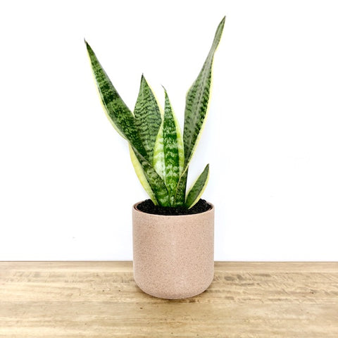 snake plant - mother in laws tongue - Garner Plant Delivery Care Guide