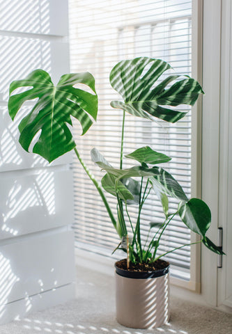 Indoor Plants need sunlight   Plant care during winter   Garner Plant Delivery Melbourne   potted plant care   house plant light in winter