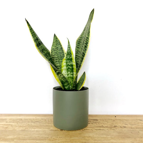 Garner Plant Delivery   Snake plant   potted plants   house plant   toxic plants for cats
