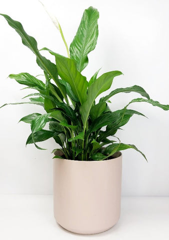 Garner Plant Delivery | Peace Lily same day delivery Melbourne | Plant gift delivery