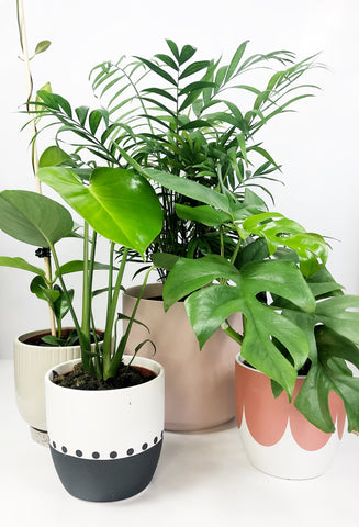 Indoor plants in various sizes | plant same day delivery Melbourne | plant gifts melbourne