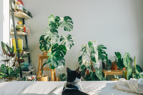 toxic plants for cats   cat friendly indoor plants   potted plants   house plants   Garner Plant Delivery   house plant safety