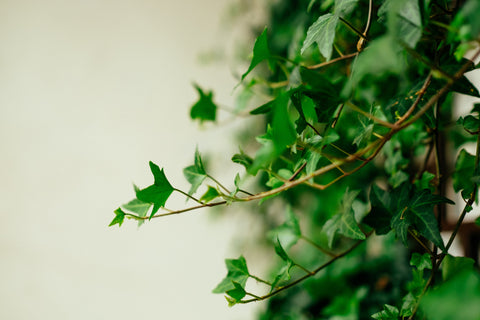 English Ivy | Garner Plant Delivery | Toxic Plant English Ivy | Indoor plant gifts Melbourne