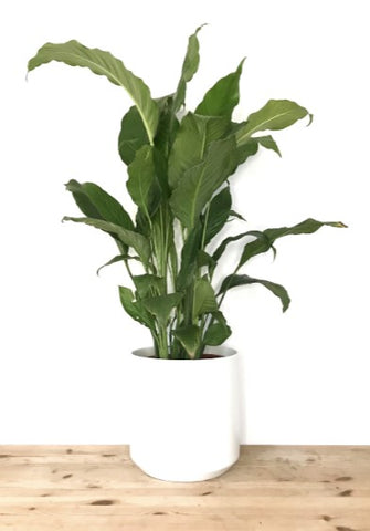CARE GUIDE - Peace Lily   potted plants online Melbourne   Garner Plant Delivery