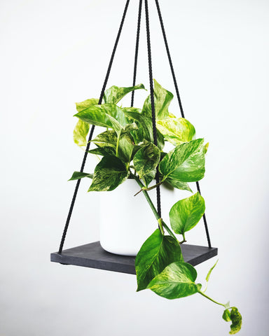 Indoor plant Devils Ivy   hang planter indoor   indoor plants toxic to cats   planting indoors   potted house plant
