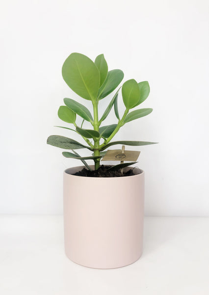 clasia rosea plant | indoor plants | indoor plant delivery melbourne | house plant delivery Melbourne | potted plant delivery Melbourne | potted plants delivered Melbourne | online plant store melbourne | indoor plants delivered | indoor plant gifts | plant gift delivery Melbourne | indoor plant gifts Melbourne | house plant gifts Melbourne | same day plant delivery Melbourne