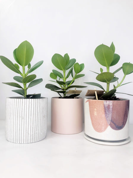 clasia rosea plant | indoor plants | indoor plant delivery melbourne | house plant delivery Melbourne | potted plant delivery Melbourne | potted plants delivered Melbourne | online plant store melbourne | indoor plants delivered | indoor plant gifts | plant gift delivery Melbourne | indoor plant gifts Melbourne | house plant gifts Melbourne | hand thrown planters Melbourne | hand thrown ceramics | bespoke ceramics | bespoke gifts | one of a kind ceramics