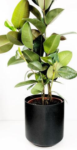 Ficus Elastica Sophia | Same day plant delivery Melbourne | house plant gift delivery | indoor plant delivery Melbourne | potted plant gifts and hampers | online plant store | house plants delivered | indoor plants | plant gift delivery