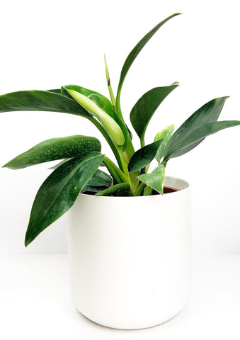 Garner Plant Delivery | potted plants gift delivery Melbourne | indoor plant gifts Melbourne | same day plant delivery Melbourne | same day flower delivery Melbourne | flower plants delivery Melbourne | indoor plant gifts online | potted plants online