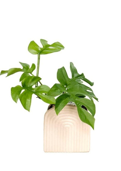 Mini Monstera | Garner Plant Delivery | small house plants | indoor plant delivery Melbourne 3000 | ceramic plant pots | indoor house plants | indoor plant pots | indoor plant gifts melbourne | indoor garden | best house plants | indoor plant delivery melbourne | plant gift delivery melbourne | potted plants delivered melbourne | plants across melbourne